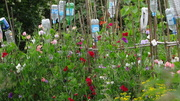 Thirsty Sweet Peas Lewes Allotments
