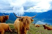 Highland Cattle & Paraglider in Swiss Alps
