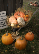 pumpkins at piegeon roost