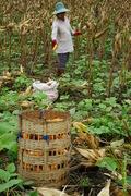 livelihood: a Karen villager harvesting corn