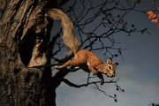 """Mr. Geister's Goblin"" Leaping squirrel"
