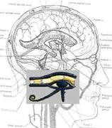 Pineal Gland-3