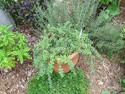 Herb Growing: Culinary a…