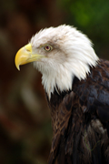 Bald Eagle_KHopkins