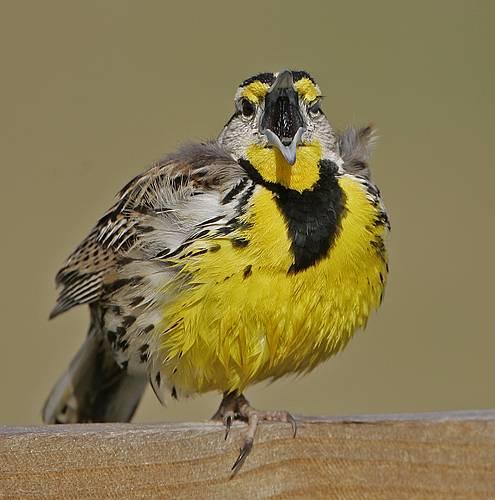 Eastern Meadowlark Breeding Singing Male