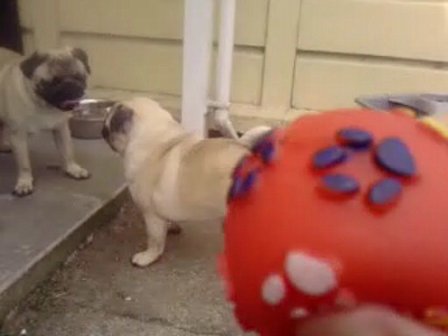 Peawee goes loopy playing fetch