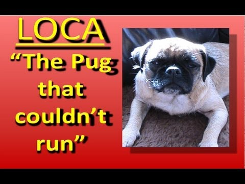 (1) Loca the Pug singing......'The pug that couldn't run'
