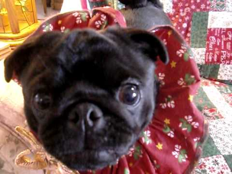 How to get the perfect Pug Christmas portrait......NOT!
