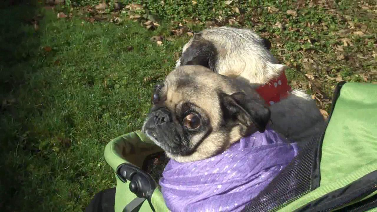 Valentine's Day - Senior Pug Love is a Beautiful Thing