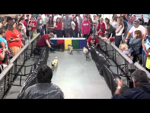 Pug Races at SEPRA Pugfest.  Ginger in the referee costume!