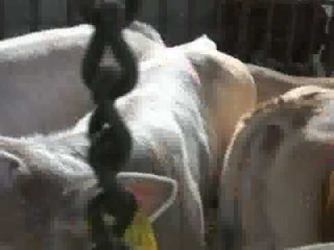 GONG IN A FARM WITH COW