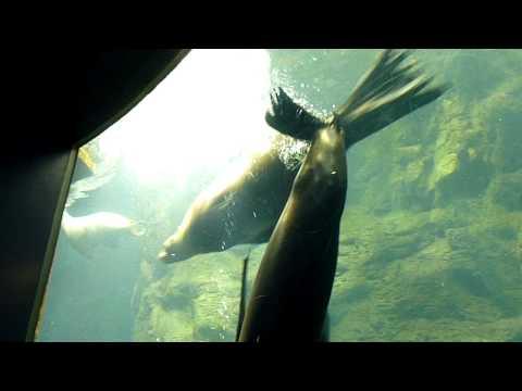 Cute sea lion at Kaiyukan Aquarium, Osaka, Japan