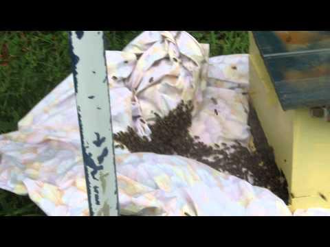 Easy Bee Swarm Catch