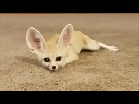 Fennec Fox Being Silly in a HUGE Room