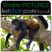 Golden Mantled Howler Monkey Chilling-out
