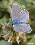 Γαλάζια μικρούλα