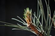 P. nigra