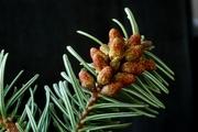 A. borrnmülleriana