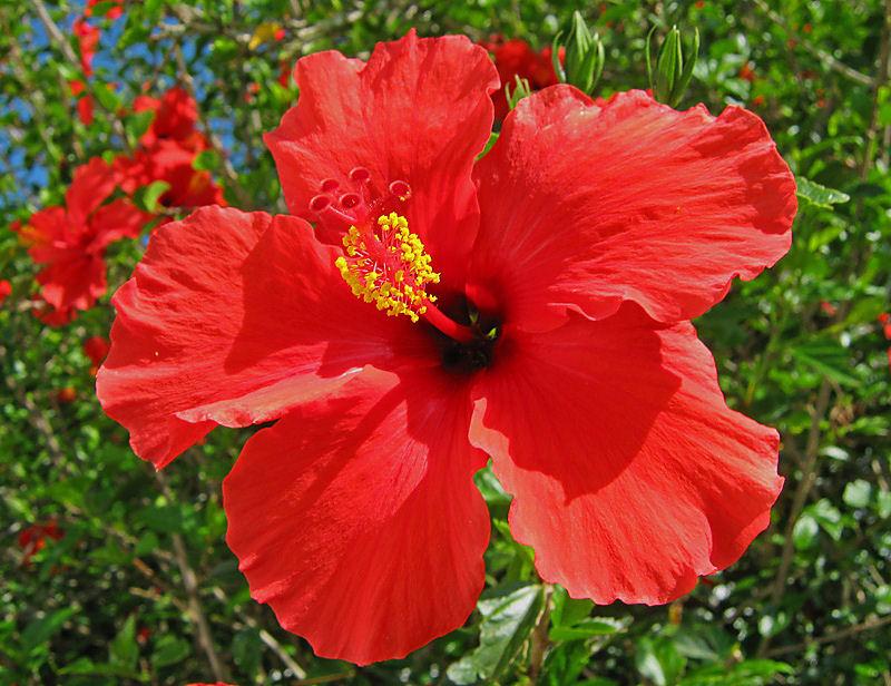 Hibiscus Flower Drivingdreamsin
