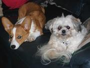 Rufus and Maisy-the peekapoo