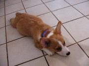 Puppy Roscoe