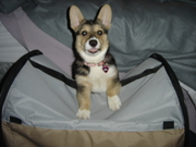 """Kona on top of her """"pup tent"""""""