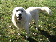 PJ the Wonder Pyr