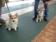 Roger and his brother Jasper at puppy class.