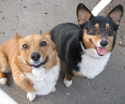 More Than One Color Corgis!