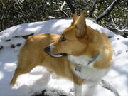 Lucy in the snow on Brasstown Bald