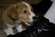 Fauntleroy loves to chew on laces