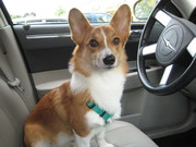 Corgi Behind The Wheel! Watch out!