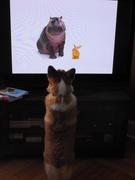 TV watching Corgis