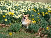 Gunny in the daffodils