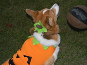 Thia the Pumpkin Dog