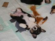 Dogs - Brandi pups 2011  5-7 weeks 027