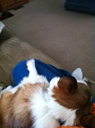Bo sleepin in my lap