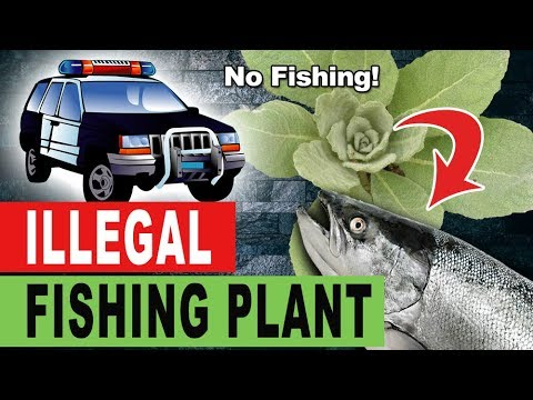 The Illegal FISHING Plant - Mullein