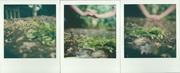 tra foglie e germogli di glicini esanimi
