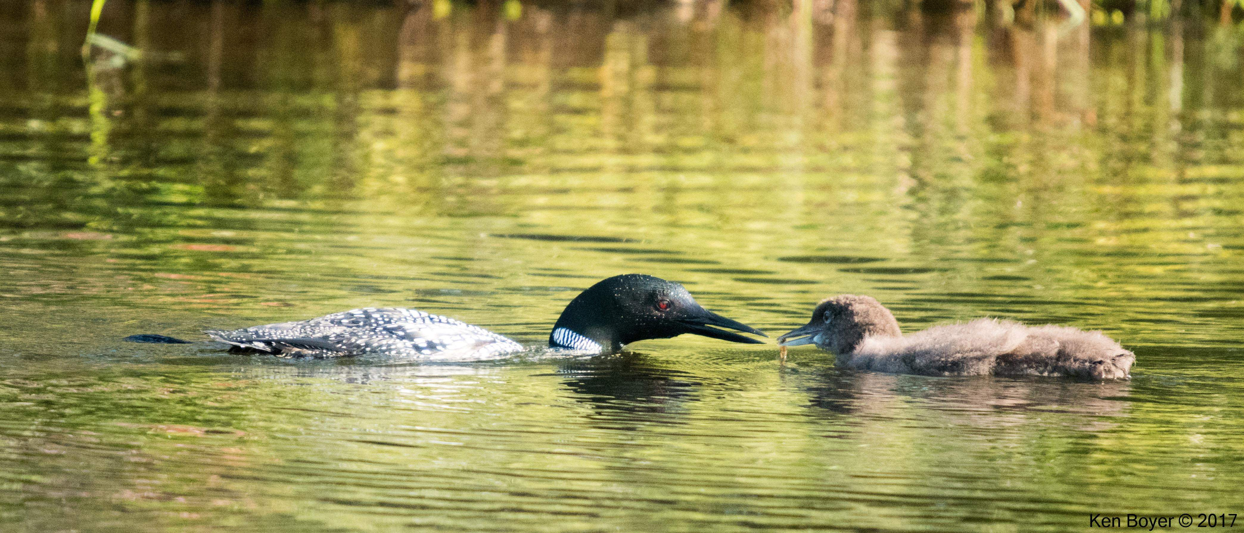 Common Loon feeding baby
