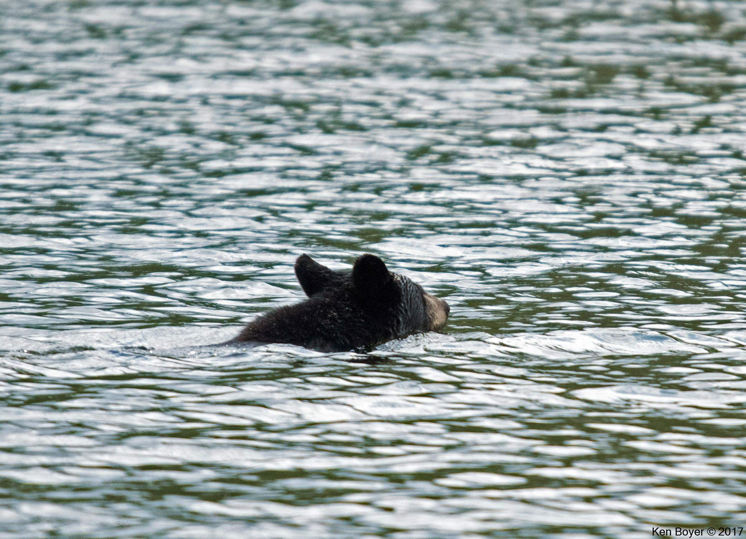 American Black Bear crossing Five Mile Bay