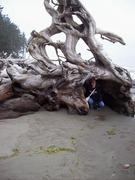Crazy tree root on third beach