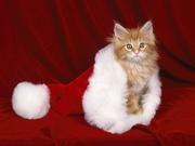 Christmas_cat_Wallpaper_qfb6n