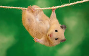 hangin in there hamster