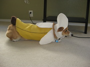 Look at that Cha-Corgi Banana!
