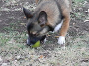 chewing on the ball
