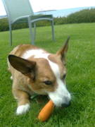 Toby eating a carrot!