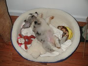 Belly up...Teri as a wee little pup....I miss those times!