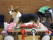 Milkywey's Wildflower at Balletcor. First Graduate class then Best of Breed, Swansea 2012