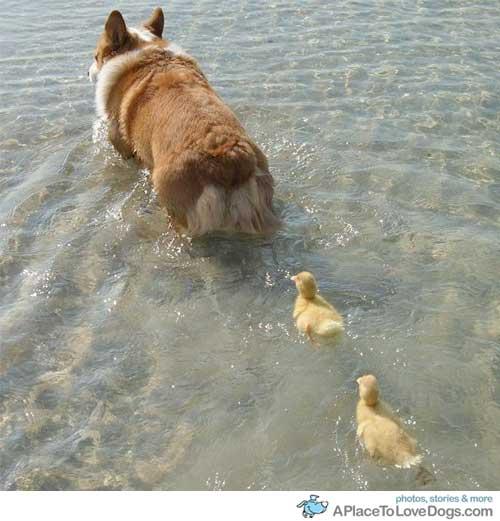 corgi duck